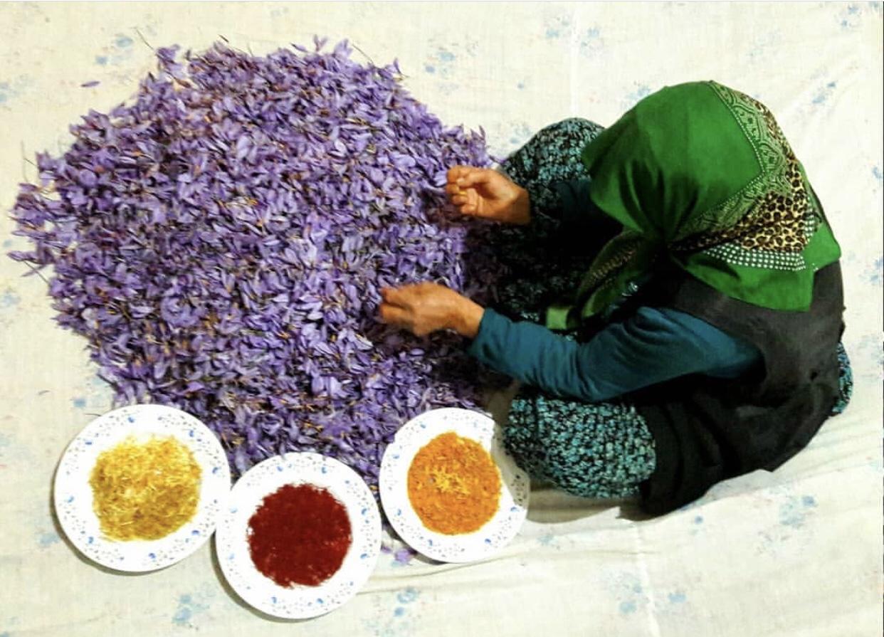 عدسة ايرانية: جمع الزعفران 1